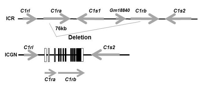 structure of C1 allele